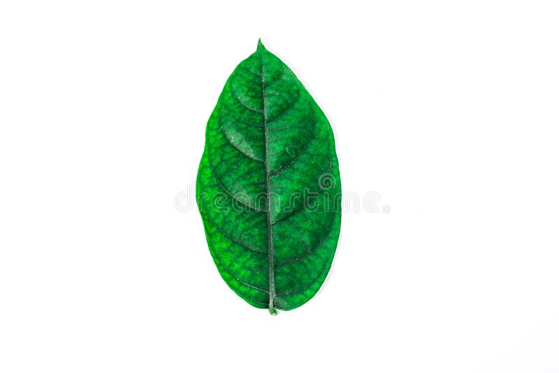 Wiele zieleń liście na białym tle zdjęcia royalty free