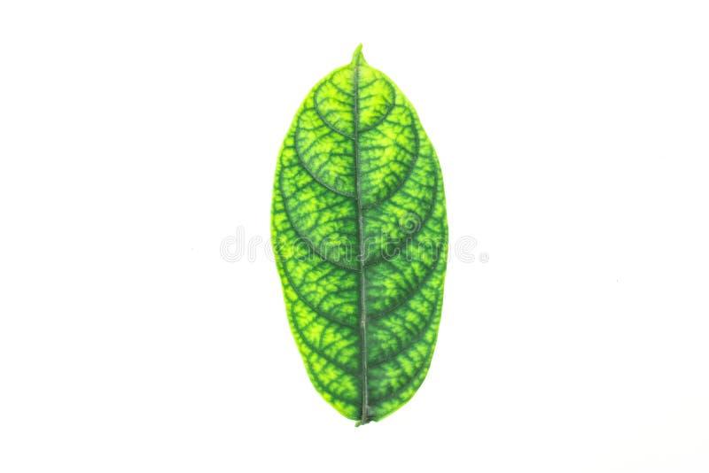 Wiele zieleń liście na białym tle zdjęcia stock