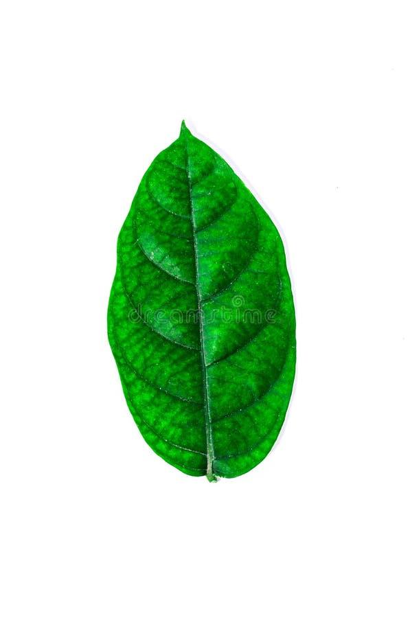 Wiele zieleń liście na białym tle obraz royalty free