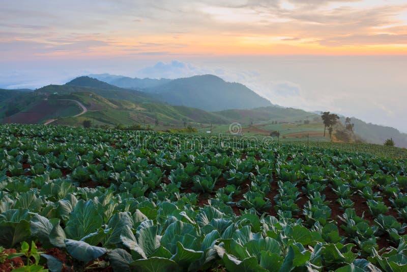 Download Wiele Zielone Kapusty W Rolnictw Polach Przy Phutabberk Phet Obraz Stock - Obraz złożonej z naturalny, fieldstone: 53783253