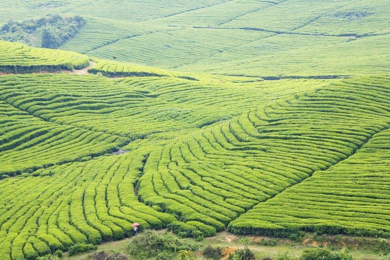 wielką plantację herbaty. obraz stock