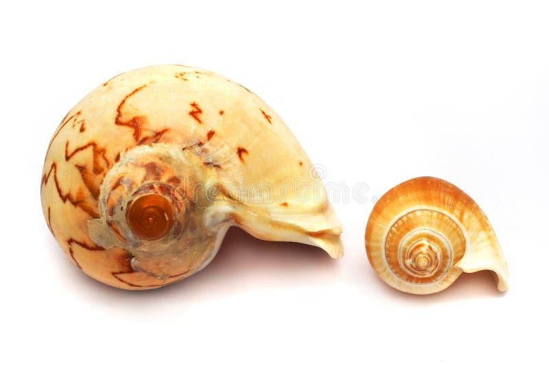 wielką skorupy kontra whelk małe spirali fotografia royalty free