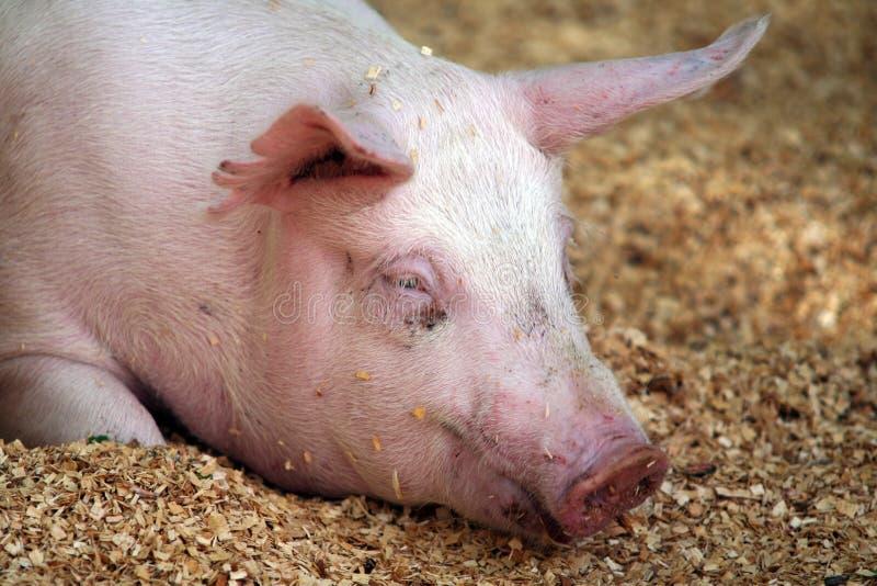 wielka świnia portret zdjęcie stock