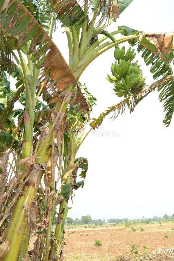 wielka bananów ' blisko green zostaw drzewa fotografia stock