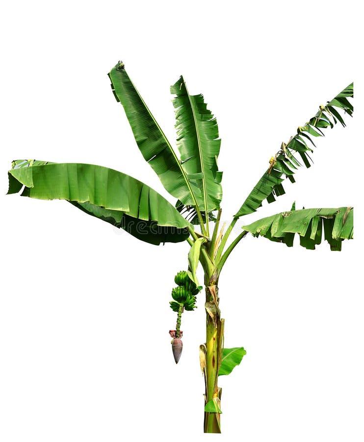 wielka bananów ' blisko green zostaw drzewa zdjęcia royalty free