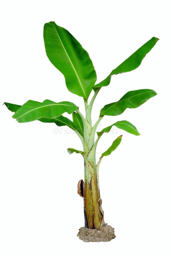 wielka bananów ' blisko green zostaw drzewa obrazy stock