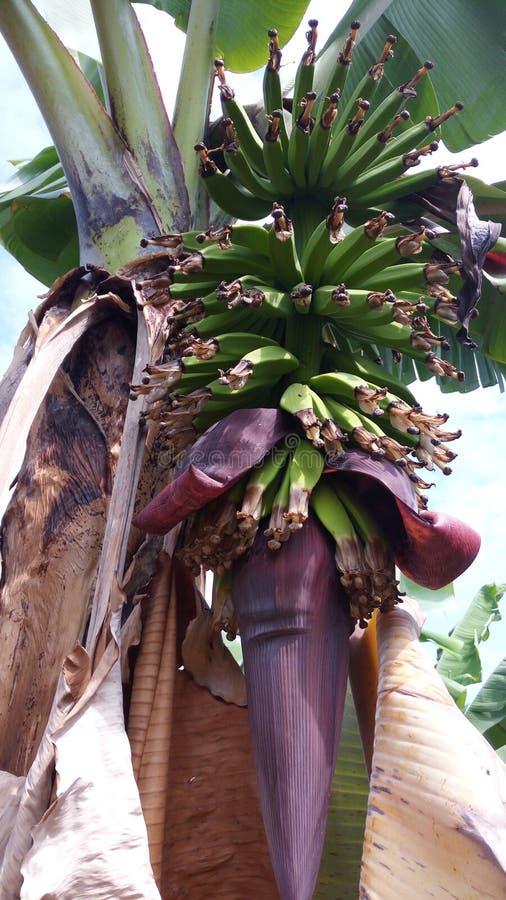 wielka bananów ' blisko green zostaw drzewa zdjęcie stock