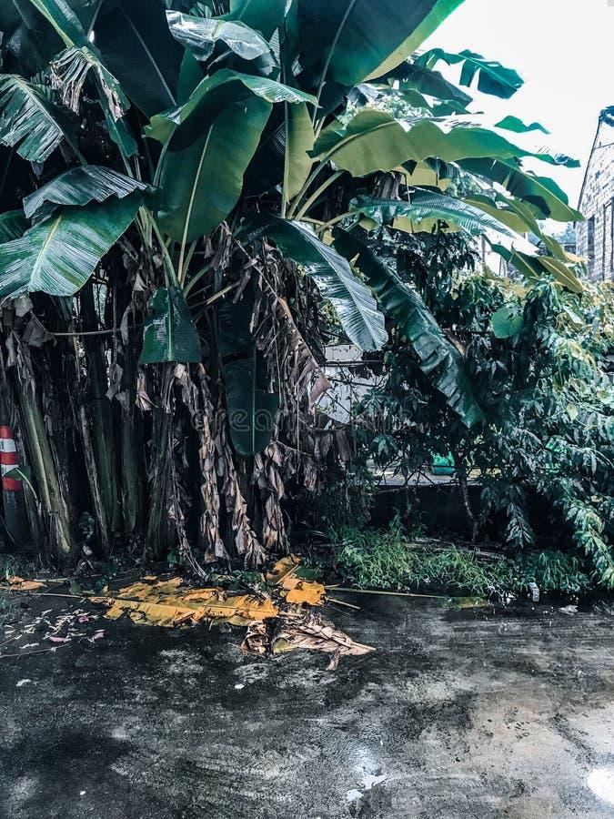 wielka banan?w ' blisko green zostaw drzewa obrazy stock