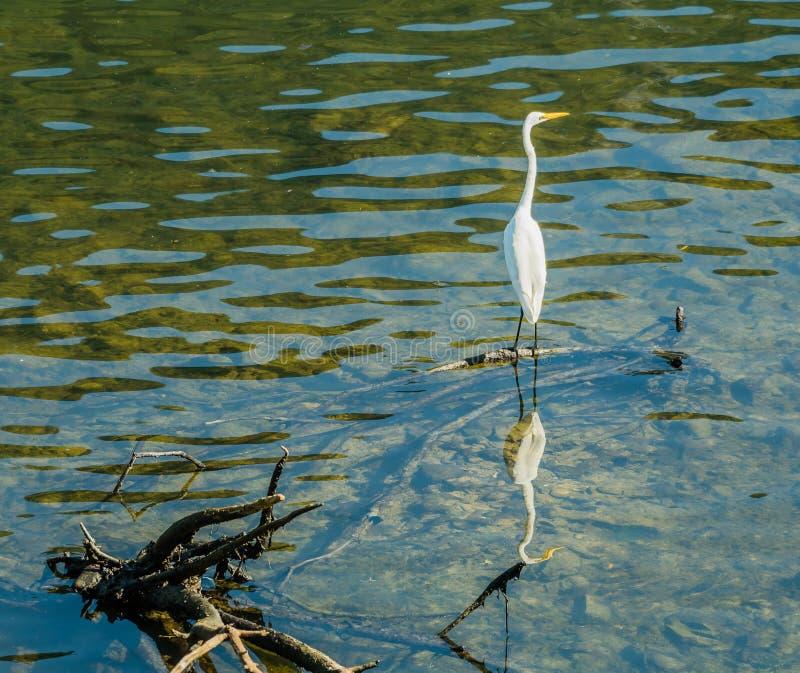 Wielka biała egret pozycja na gałąź w płytkiej wodzie zdjęcie stock
