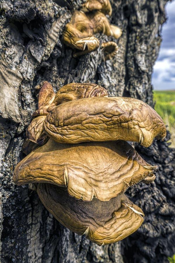 Wielka conk pieczarka na drzewie obrazy royalty free