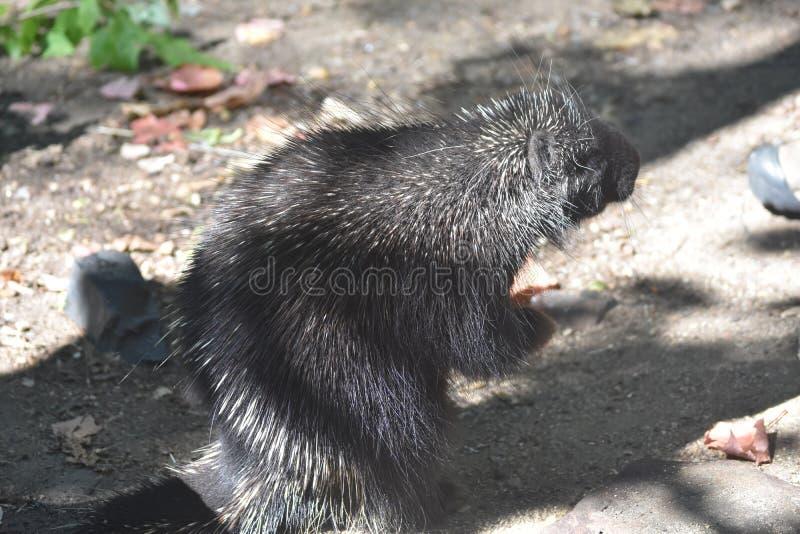Wielka czarna jeżatki pozycja na swój tylnych nogach fotografia stock