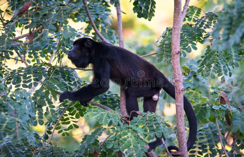Wielka czarna wyjec małpa w jego tropikalnego lasu deszczowego siedlisku obraz stock