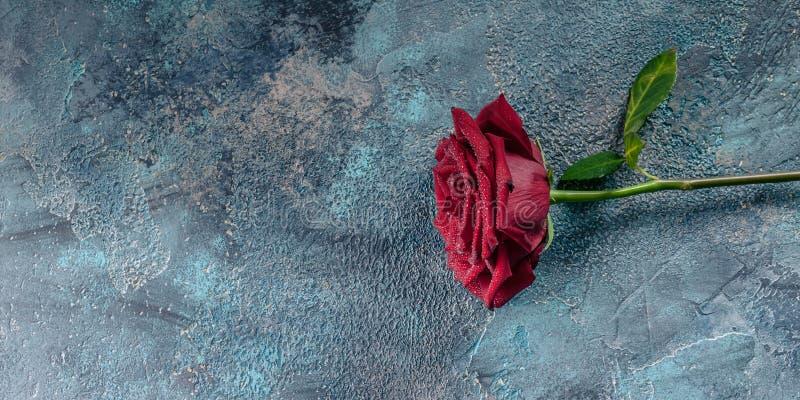 Wielka czerwieni róża z wodnymi kropelkami na betonowym błękitnym tle tonowanie sztandar obraz stock