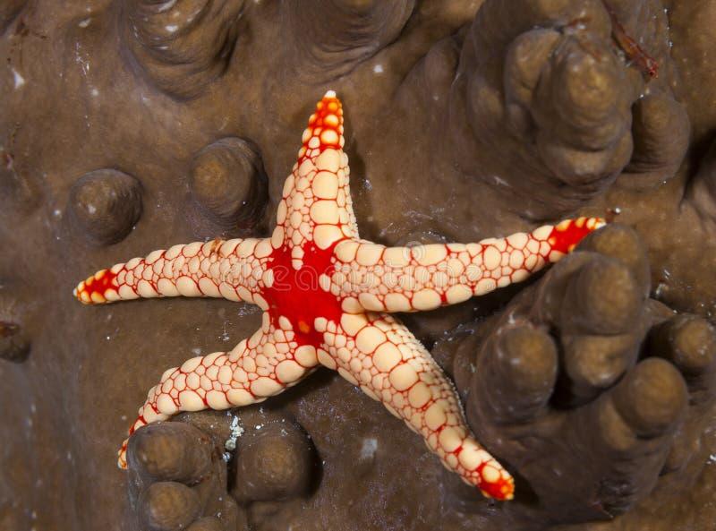 Wielka denna gwiazda podwodna w Maldives, nigdy widziałem mnie, swój kolory jestem wspaniały obraz stock