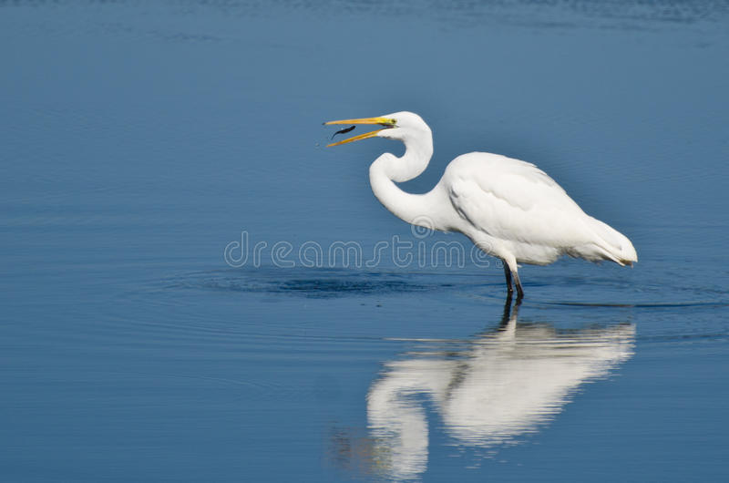 Wielka Egret łasowania ryba fotografia royalty free