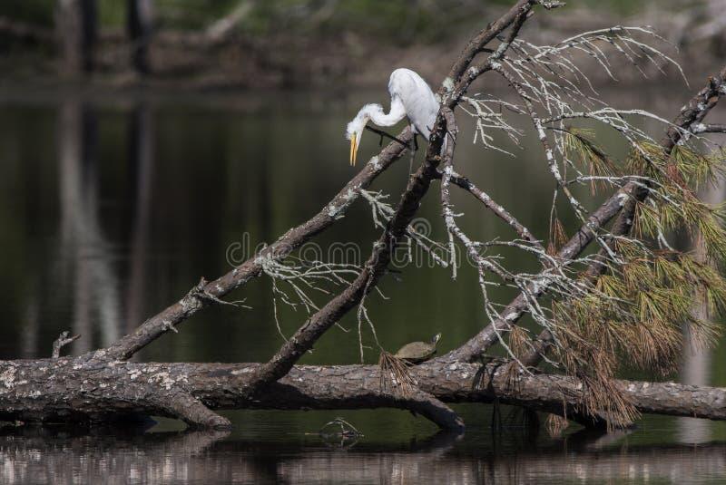 Wielka Egret czapla, żółw w bagna siedlisku i, Gruzja usa fotografia stock