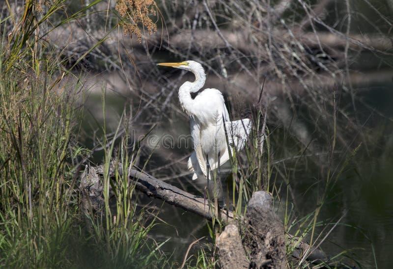Wielka Egret czapla w bagna siedlisku, Gruzja usa zdjęcia royalty free