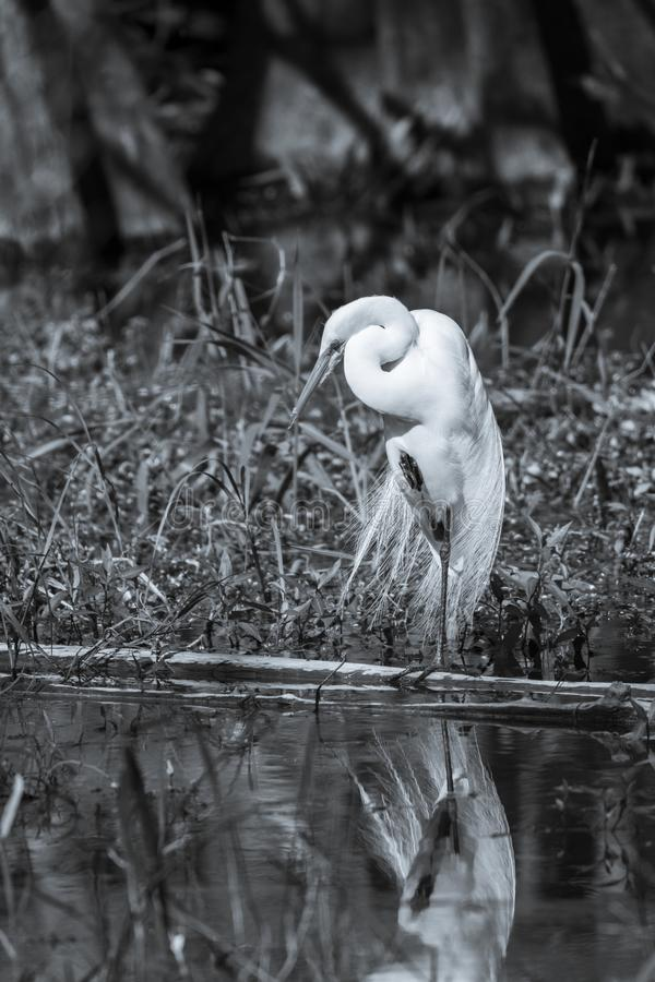 Wielka egret pozycja na jeden nodze - czarny i biały obraz stock