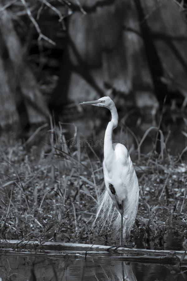 Wielka egret pozycja na jeden nodze w czarny i biały obraz royalty free