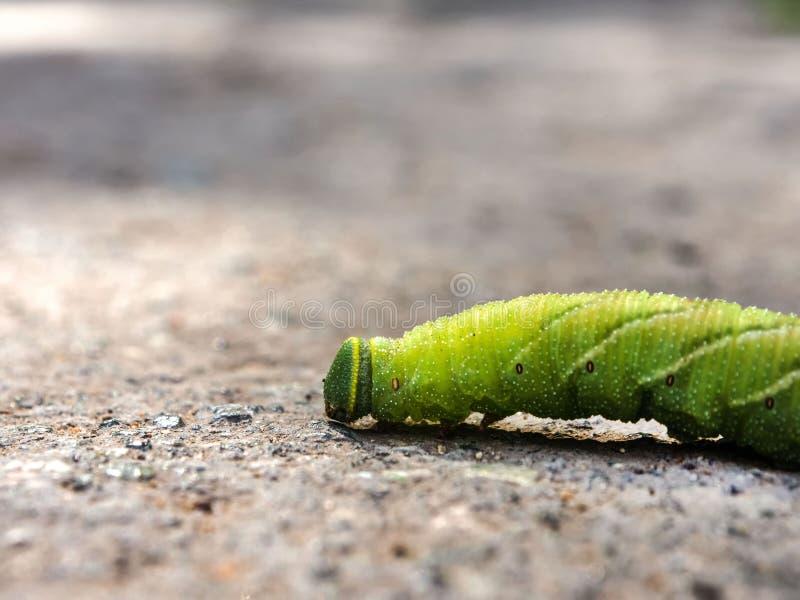 Wielka gąsienica czołgać się wzdłuż asfaltu Zakończenie obraz stock