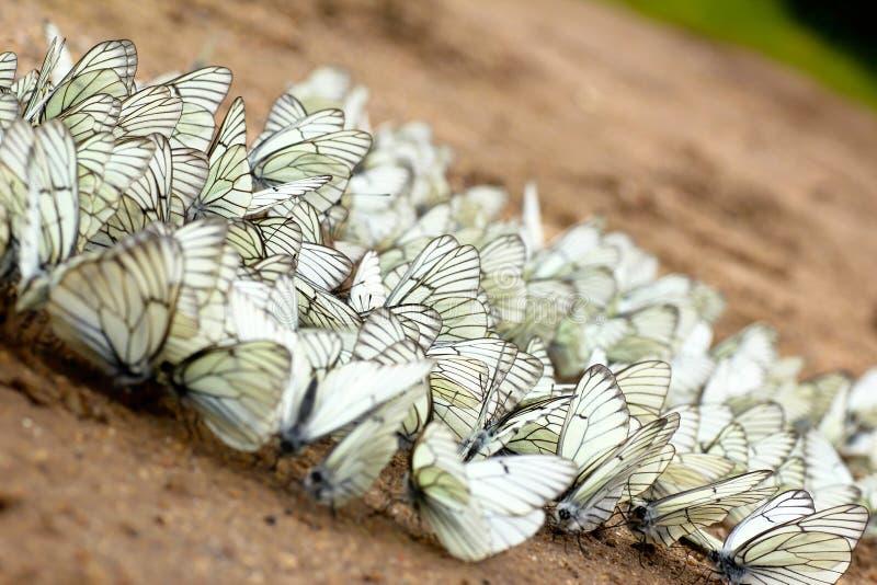 Download Wielka grupa motyle. zdjęcie stock. Obraz złożonej z zaraza - 28966164