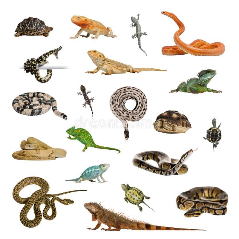 Wielka kolekcja gad, zwierzę domowe i egzot, w różnym positi obrazy stock