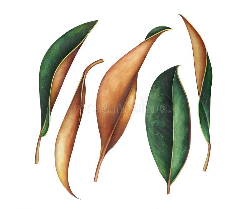Wielka kolekcja magnolia liście odizolowywający na białym tle ilustracji