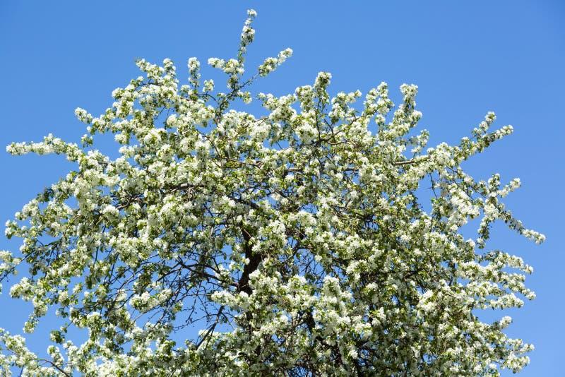 Wielka kwiatonośna jabłoń z białymi kwiatami obraz royalty free