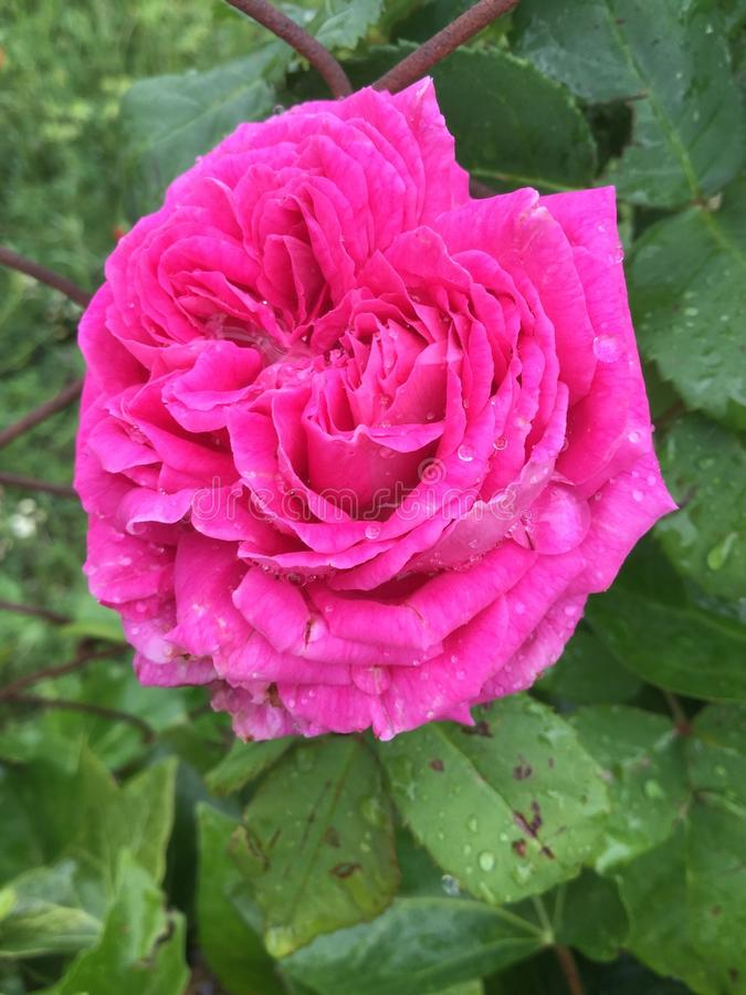 Wielka menchii róża obrazy stock