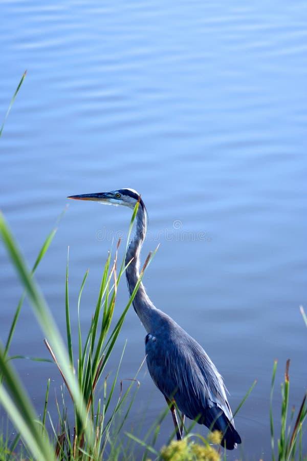 wielka niebieska 2 heron zdjęcia royalty free
