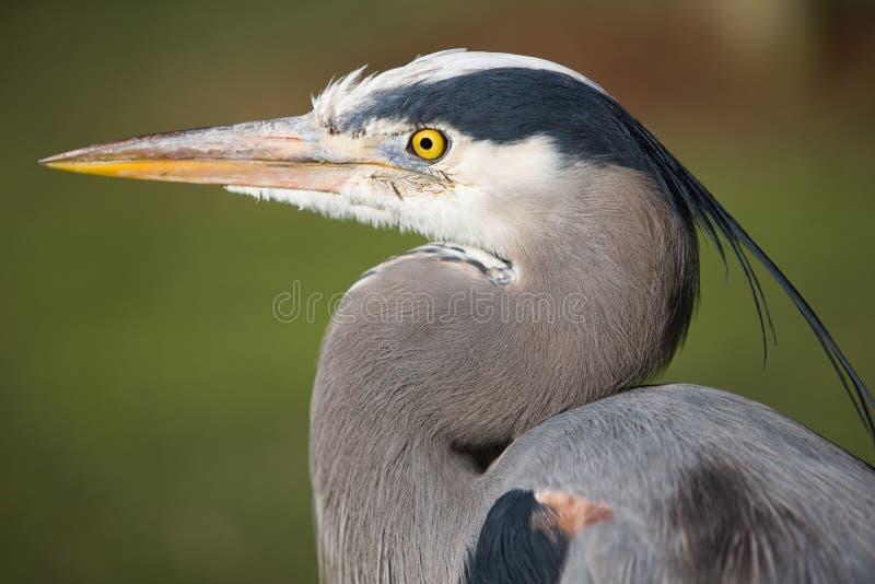 wielka niebieska heron obraz stock