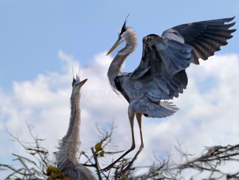 wielka niebieska heron obrazy stock