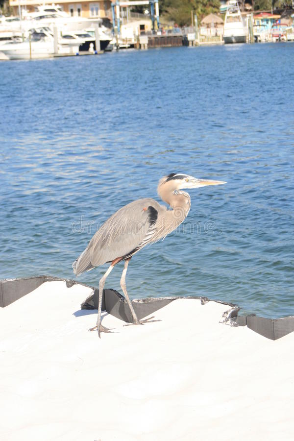 wielka niebieska heron zdjęcia stock