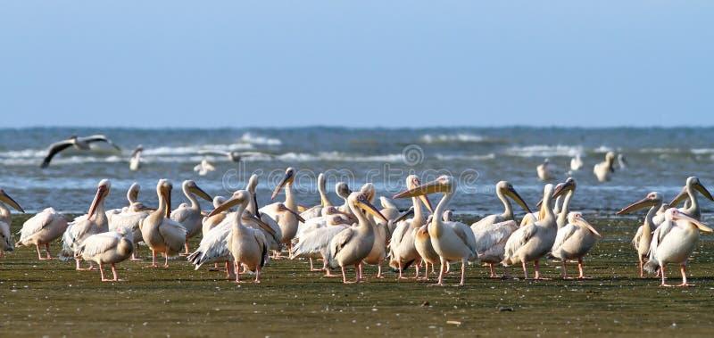 Wielka pelikan kolonia przy Meleaua obraz stock