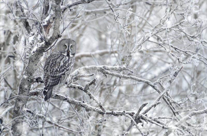 Wielka Popielata sowa w zimie zdjęcie stock