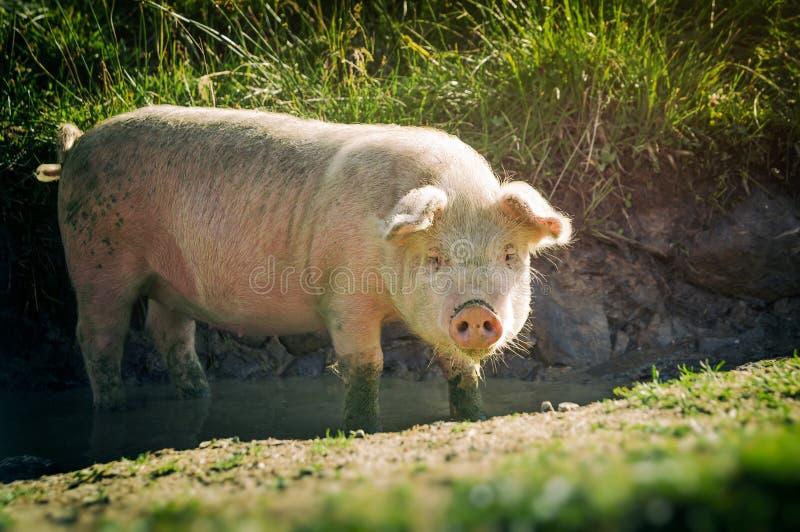 Wielka różowa świnia fotografia stock