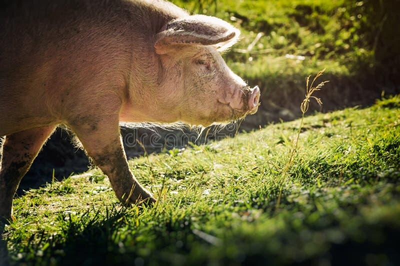 Wielka różowa świnia obrazy stock