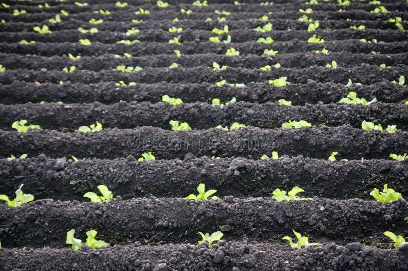 Wielka sałaty plantacja zdjęcia royalty free
