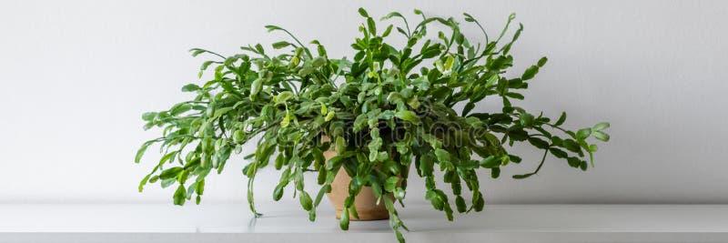 Wielka sukulentu domu roślina na białej półce przeciw biel ścianie Salowy doniczkowy roślina sztandar z kopii przestrzenią zdjęcie royalty free