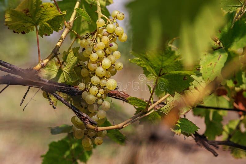 Wielka wiązka białego wina winogrona wiesza od winogradu obraz royalty free