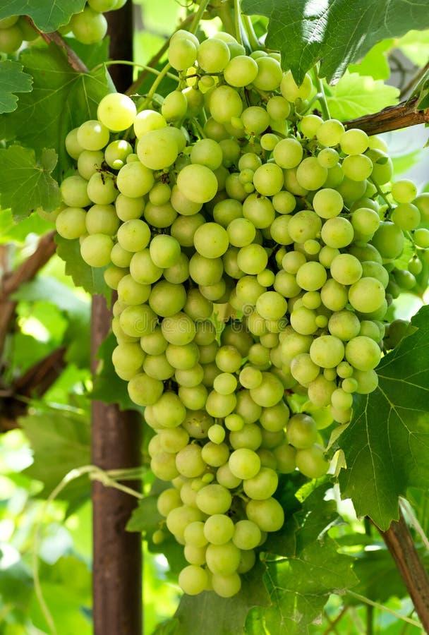 Wielka wiązka winogrona na krzaku, obraz stock