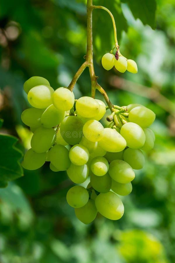Wielka wiązka winogrona na krzaku zdjęcie royalty free