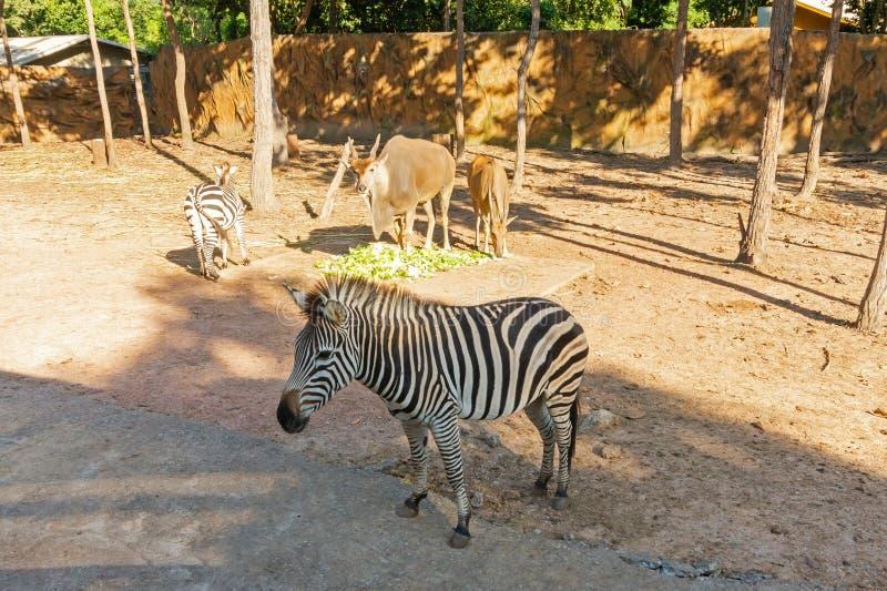 Wielka zebra przy zoo i kudu zdjęcia stock