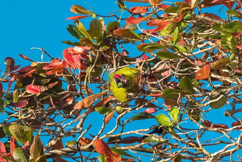 Wielka zielona ara, papuga obraz stock
