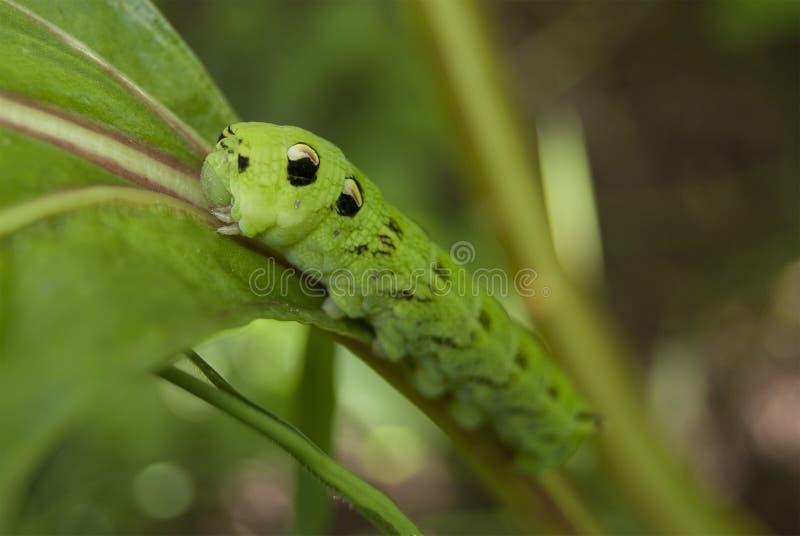 Wielka zielona gąsienica motyli ćma zdjęcie royalty free