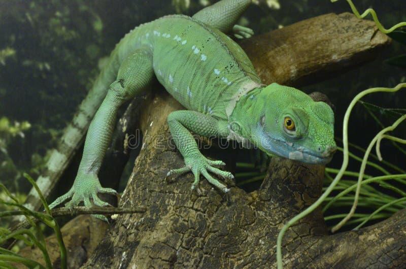 Wielka Zielona jaszczurka fotografia royalty free