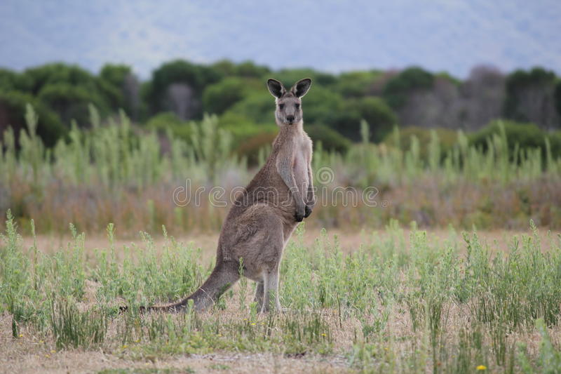 Wielkanoc Popielaty kangur zdjęcia royalty free