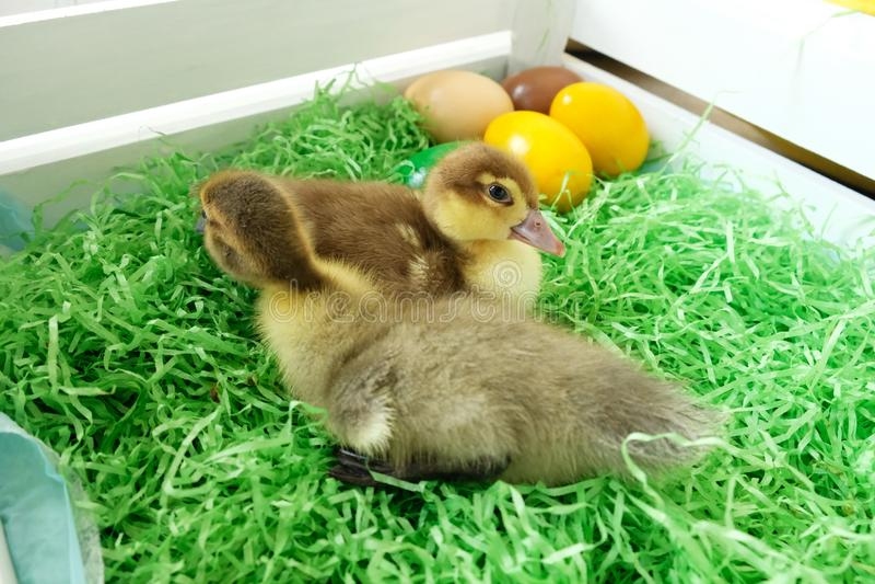 Wielkanocne kaczki obraz royalty free