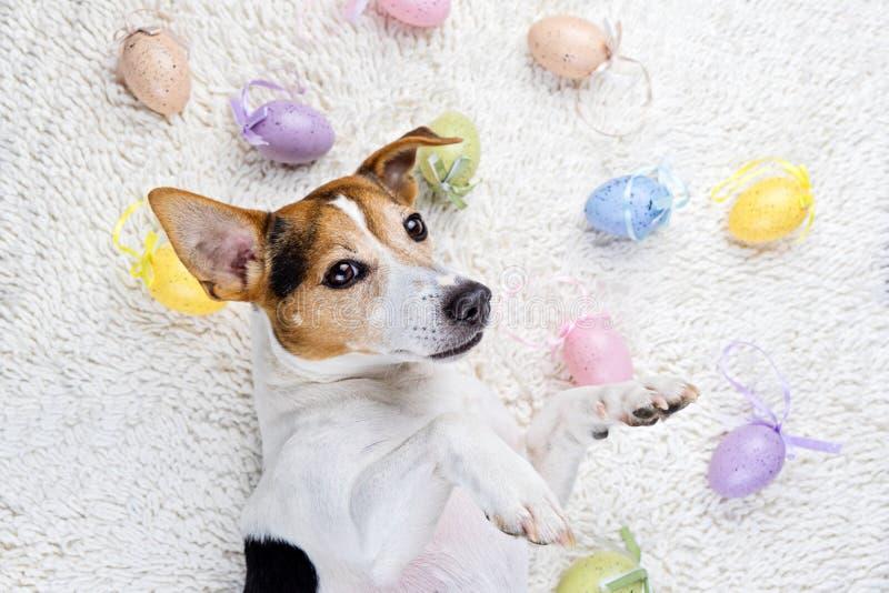 Wielkanocni jajka z śmiesznym szczeniakiem w białym dywaniku zdjęcie stock
