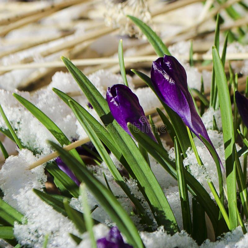 Wielkanocni tulipany Wyłania się Przez Świeżego wiosna śniegu zdjęcie stock